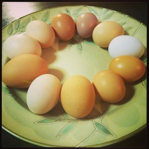One days' worth of eggs from TCA hens = the number of eggs laid per year by their wild ancestor.