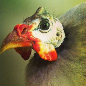 Fizzgig--lavender Guinea fowl who showed up at the Microsanctuary one day!